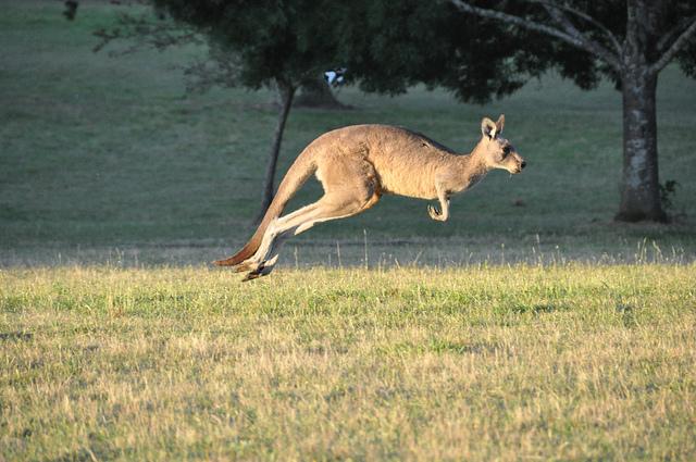 ../../../_images/kangaroos2.jpg