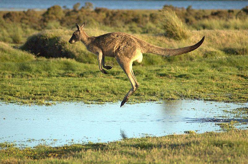 ../../../_images/kangaroos3.jpg