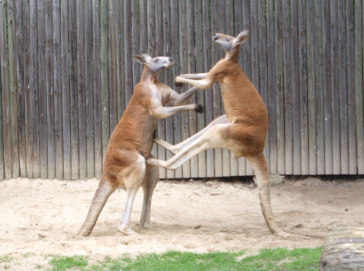 ../../../_images/kangaroos5.jpg