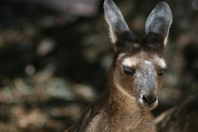 ../../../_images/kangaroos7.jpg
