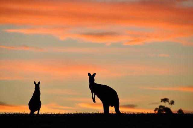 ../../../_images/kangaroos8.jpg